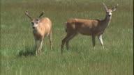 Two deer graze in a grassy meadow.