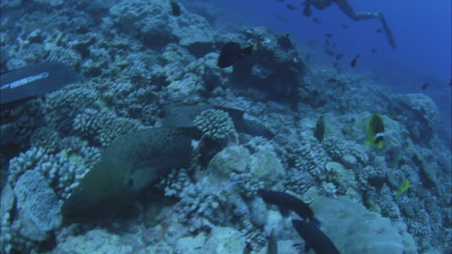 SLO MO MS Two divers with cameras following Moray eel (Muraenidae) swimming near coral reef / Moorea, Tahiti, French Polynesia