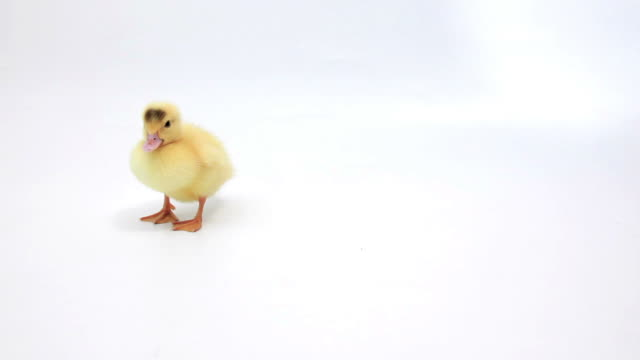 Two ducklings on white background. Sitting and walking