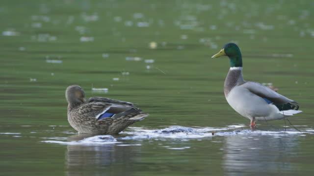 Twee eenden in een meer