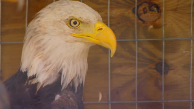 Two Eagles in cage