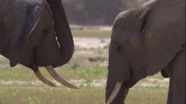 Two elephant touch heads and trunks, Skeleton Coast, Namibia. Available in HD.