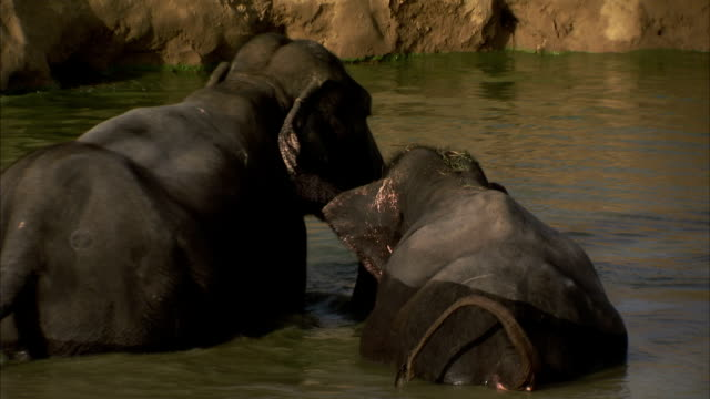 Two elephants bathe in muddy water. Available in HD
