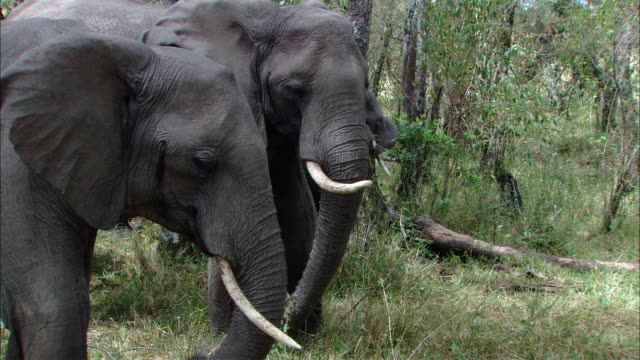 MS ZI Two elephants eating grass / Kenya
