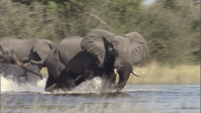 Two elephants run as they cross waters of the Okavango Delta in Botswana.