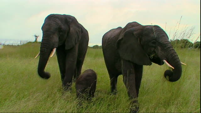 WS Two elephants with calf grazing / Mpika, Zambia
