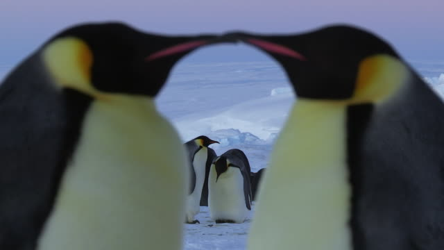 CU Two Emperor penguin heads profile forming heart shape / Dumont D Urville Station, Adelie Land, Antarctica