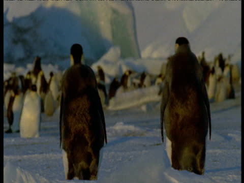 Two Emperor penguins walk towards colony, Terra Nova, Antarctica