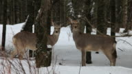 MS Two Ezo sika deers in snow / Kushiro, Japan