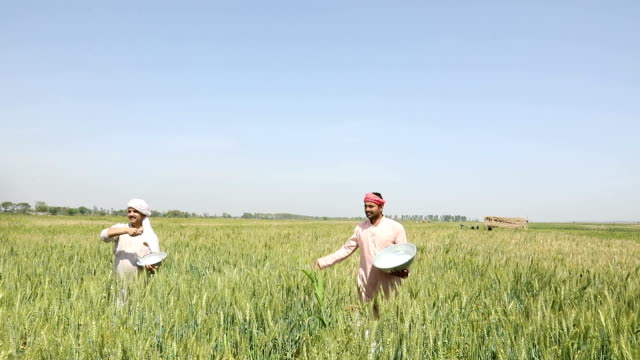 Two farmer throwing insecticides in the crops, Haryana, India