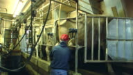 MS, Two farmers and Brown Swiss (Bos, B. Taurus) cows in milking parlor, St. Marys, Ohio, USA