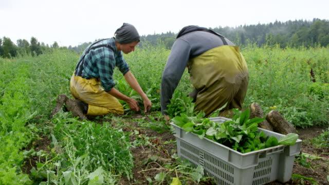 MS TU two farmers kneeling in field on organic farm harvesting organic dandelion greens