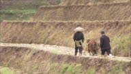 Two farmers use an ox to plough a hillside paddy field. Available in HD.