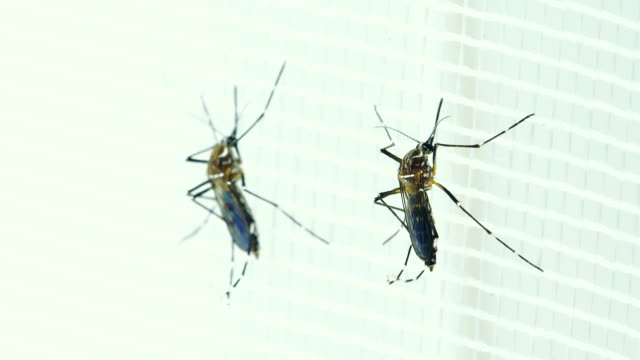 Two Female Aedes aegypti Mosquito