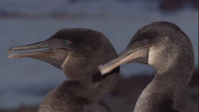 Two Flightless Cormorants flutter their gular pouches. Available in HD.