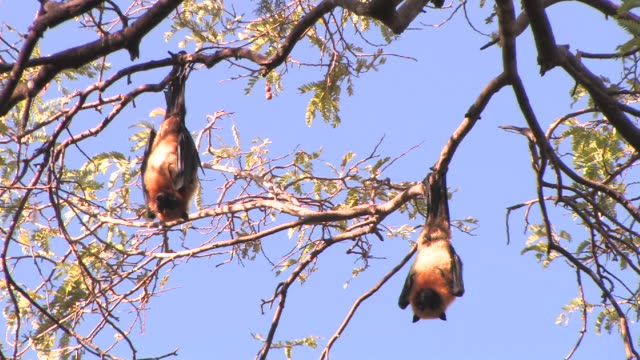 MS, LA, Two flying foxes (Pteropus rufus) roosting in tree, Berenty Private Reserve, Toliara Province, Madagascar