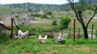 Two Free Range Chicken