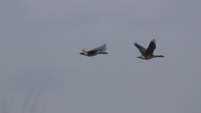Two geese 3 - HD 1080/60i