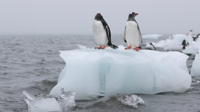 Two Gentoo Penguins on a grounded iceberg, with waves lapping