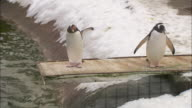 Two Gentoo penguins squabble on a diving board in the penguin enclosure at Edinburgh Zoo.