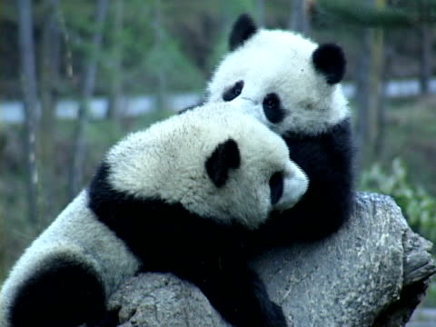 MS, Two Giant pandas (Ailuropodia melanoleuca) playing on tree trunk, Chengdu, Sichuan , China