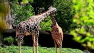 Two giraffes in Kenya