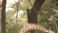 MS Two giraffes swinging necks at each other walking out of sight on the Okavango Delta Wildlife habit courtship mating season dominance safari