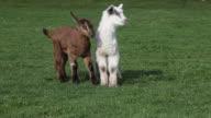 Two goat kids in field