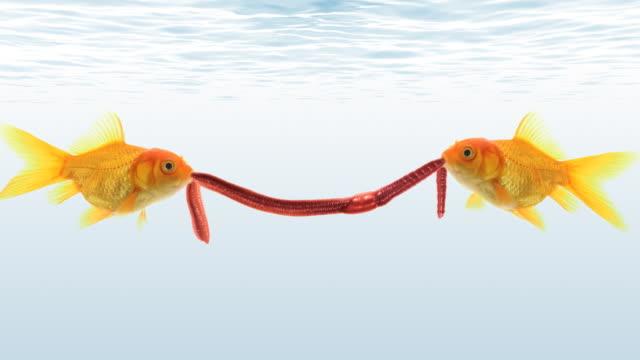 Due goldfishes lotta per un worm