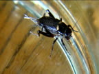 Two Gryllus Bimaculatus square off against each other in glass jar on wooden surface
