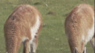 Two guanacos lower their heads to drink. Available in HD.