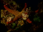 Two Harlequin shrimps attempt to overturn starfish on rocks so they can feed