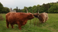 Two Highland Cows Scratching