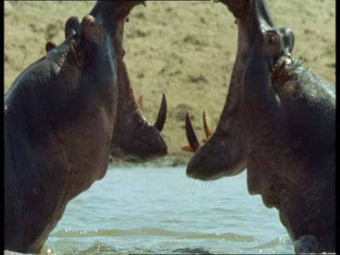Two hippos fight each other with gaping mouths.