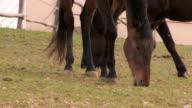 Due cavalli al pascolo