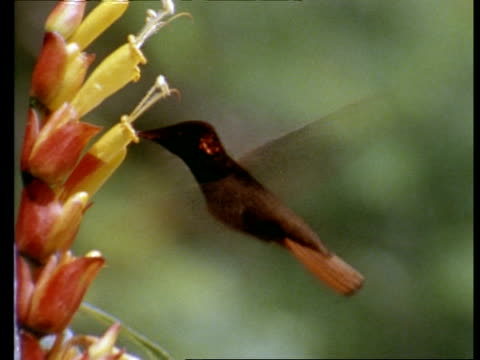 MWA Two Hummingbirds taking it in turns to feed from flower, real time