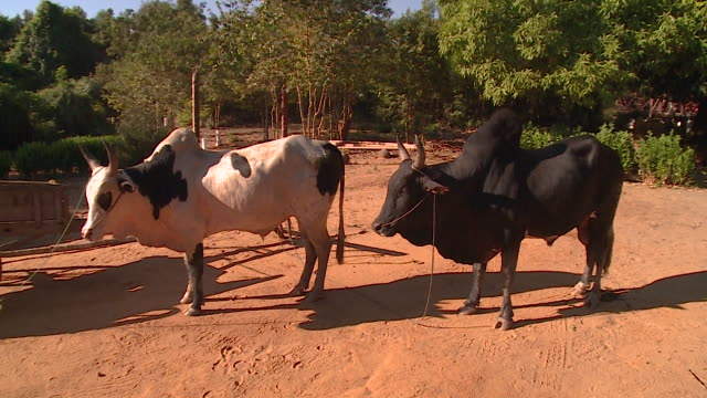 Two humped cattle in Madagascar