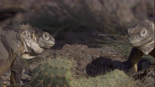 Two iguanas bob heads at each other and grab at a fallen cactus. Available in HD.