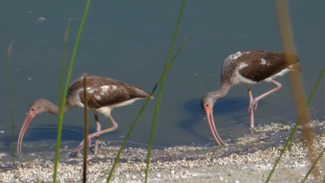 Two Juvenile Ibis  Walking Along the Shore