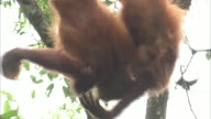 Two juvenile orangutans play while hanging upside down from a jungle tree in Borneo, Malaysia.