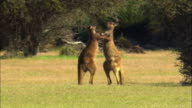 MS, two Kangaroos rearing up and boxing in field, Australia