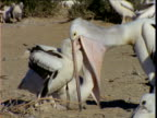 Two large Australian pelican chicks attempt to feed from parent at same time, Lake Eyre, South Australia