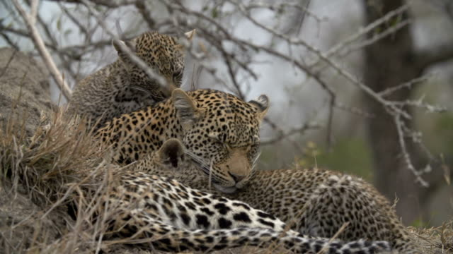 Two leopard cubs nuzzling with female leopard on termite mound/ Kruger National Park/ South Africa