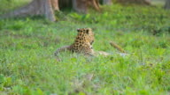 Two Leopard Playing