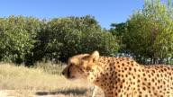 CS TS Two Leopards