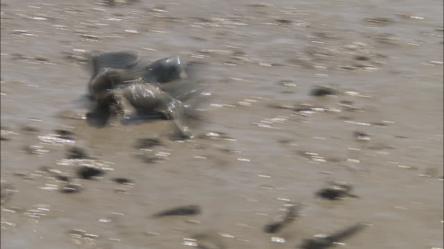 Two male blue spotted mud hoppers fighting