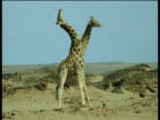 Two male giraffe swinging their necks at each other but miss three times in a row, Namibia