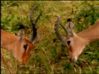 Two male impalas fight for dominance.