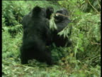 Two male mountain gorillas fight and roar at each other.