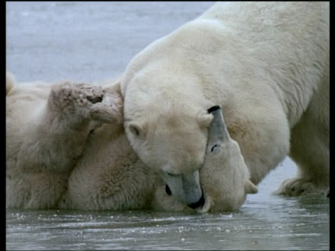 Two male polar bears play fighting on ice, one bites the other's paw, Churchill, Canada